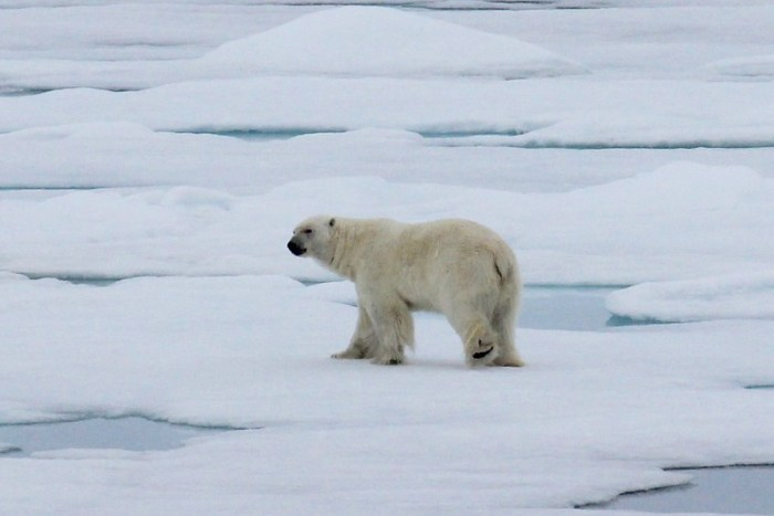 Polar Bear seen Ice Cruising in the Arctic