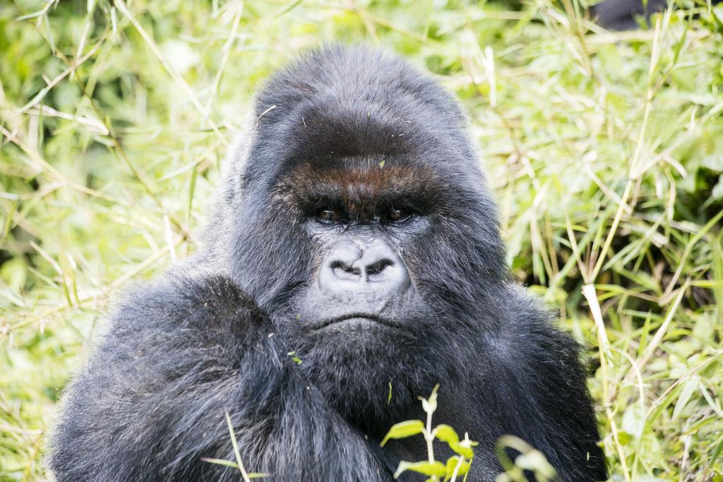 Gorilla Trekking 04