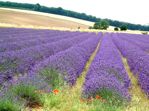 Lavender hill mob