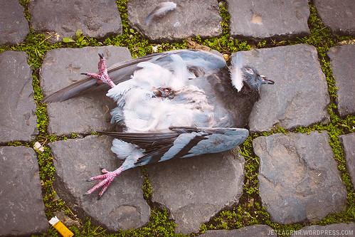 dead roman pigeon