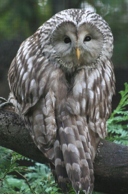 Ural Owl Flickr Photo Sharing