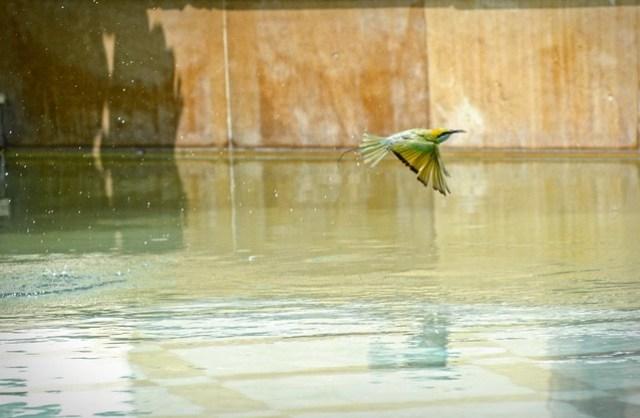 Bee-Eaters Bathing