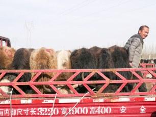 Kashgar animal market | Jan, 2016