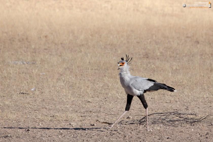 Secretary bird (Sagittarius serpentarius)