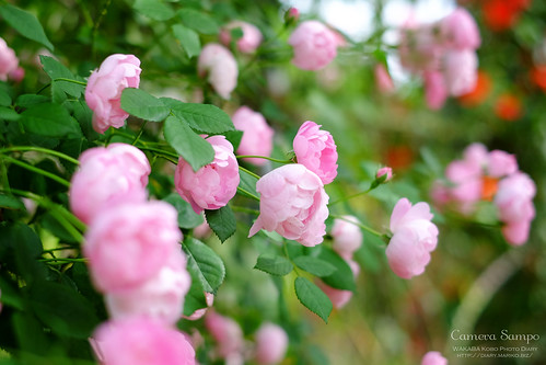 薔薇 20150522-DSCF3466
