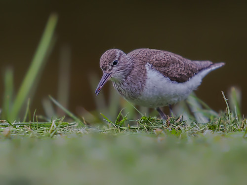 Common Sandpiper with Seed 8-7-2015-45 PDI