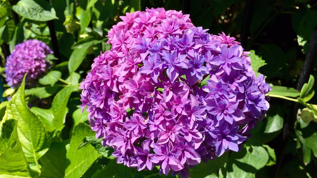 Mixed color Hydrangea, Ajisai