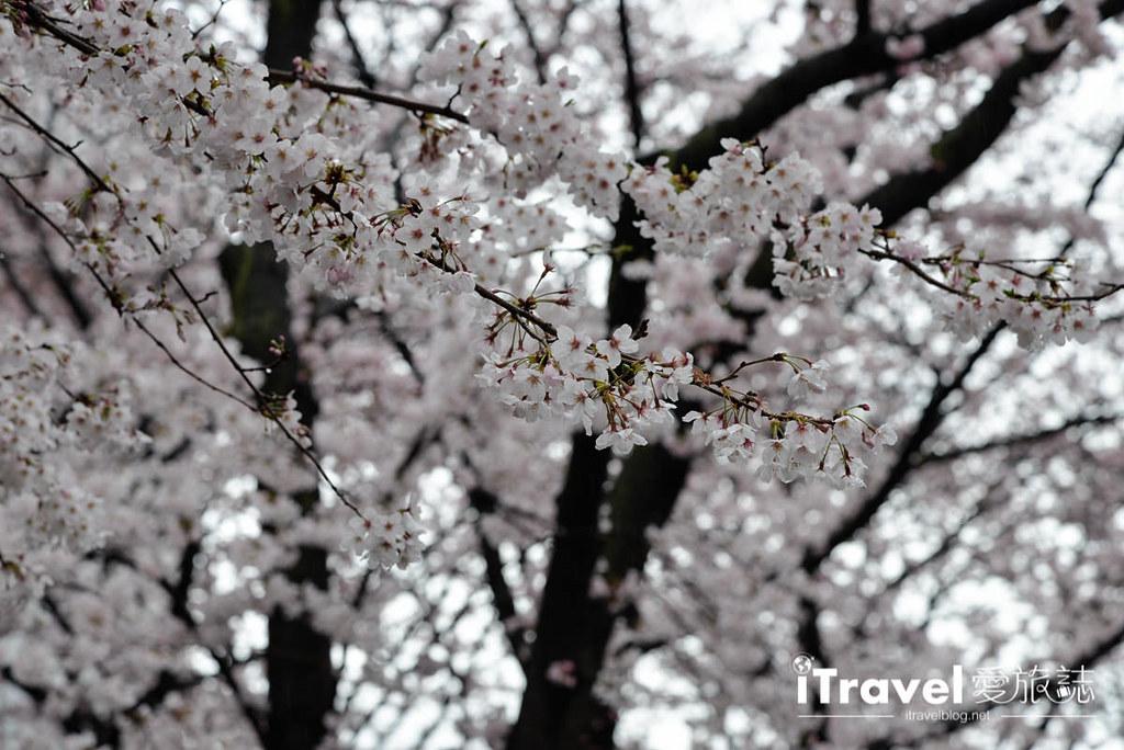 京都赏樱景点 祇园白川 (6)