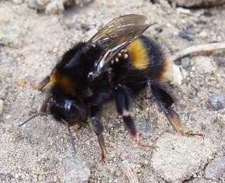 Bee mystery