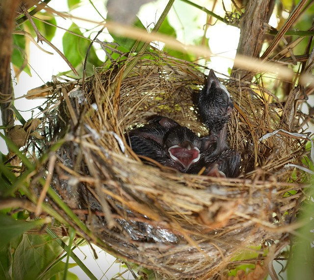 Red-vented bulbul nest