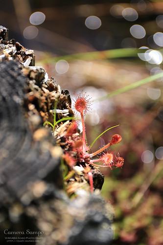 食虫植物 玉原湿原 20150719-IMG_9790