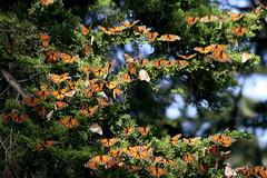 Spontaneous Gathering of Monarchs