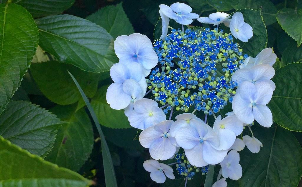 Blue Color Hydrangea at Hakusan Shrine