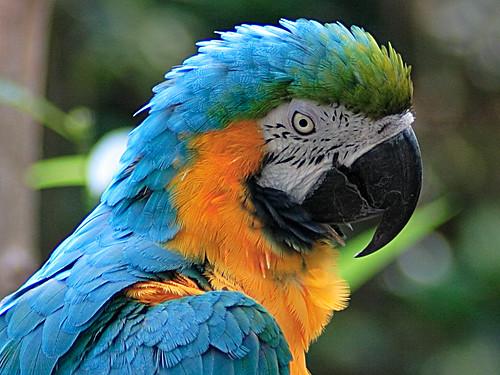 Der Gelbbrustara ist auf Anhang II des Washingtoner Artenschutzabkommens
