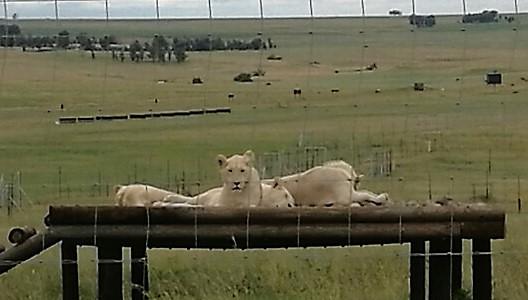 Lions at Thanda Tau