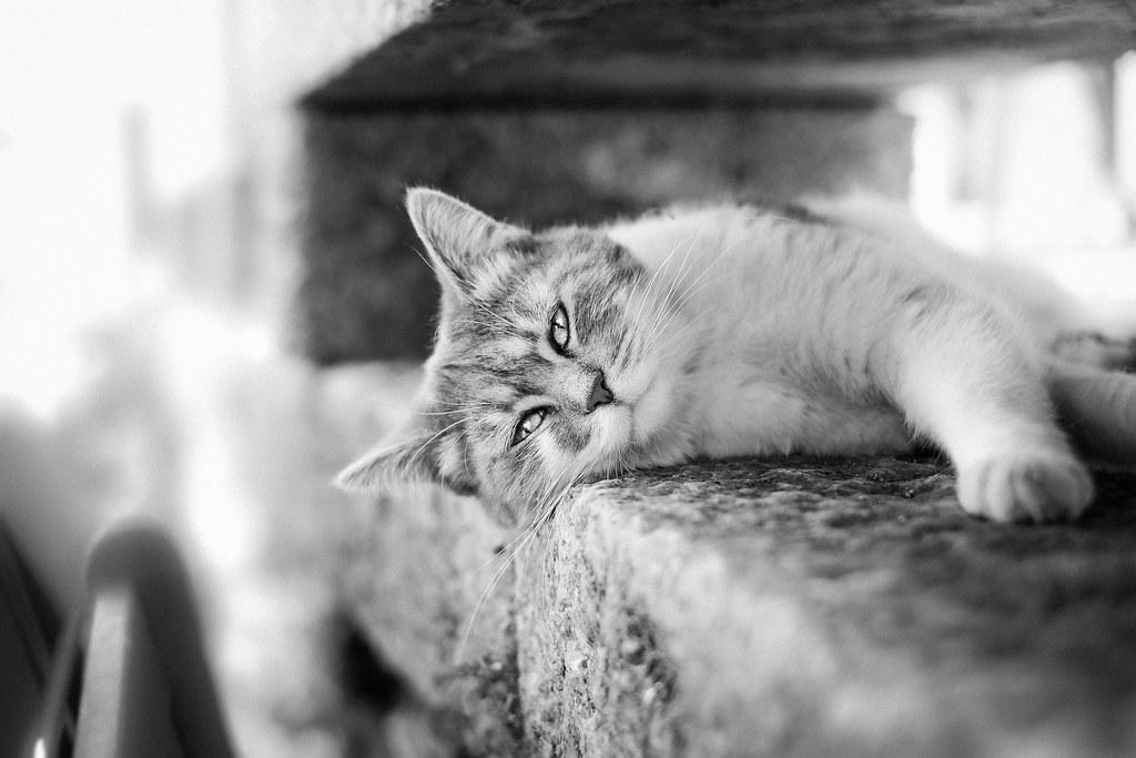 Imagen gratis de un gato tumbado en blanco y negro