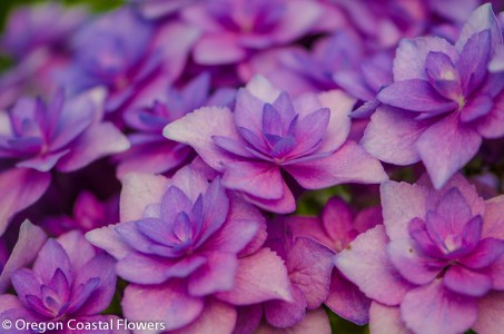 Double Hydrangea Lavender