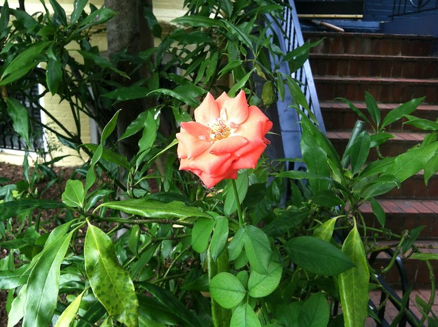 Hot rose