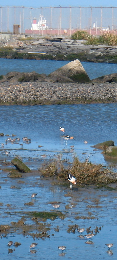birds in a small wetland of SF Bay