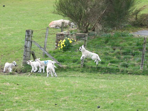 Lambs play by Will Palmer