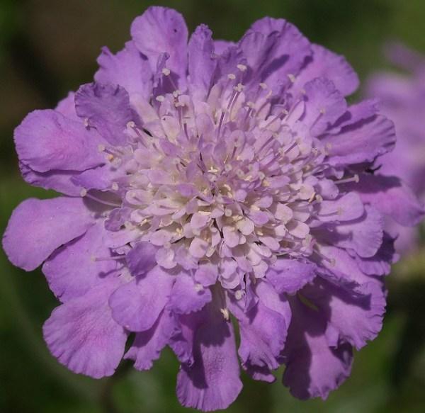 Scabiosa Pincushion flower Flickr Photo Sharing!