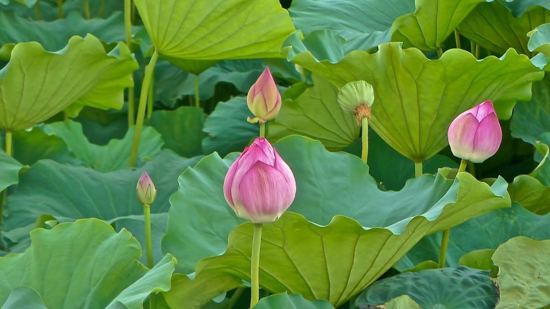Lotus Flowers at Shinobazu Pond