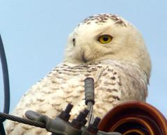 Genoa, NY: Snowy Owl