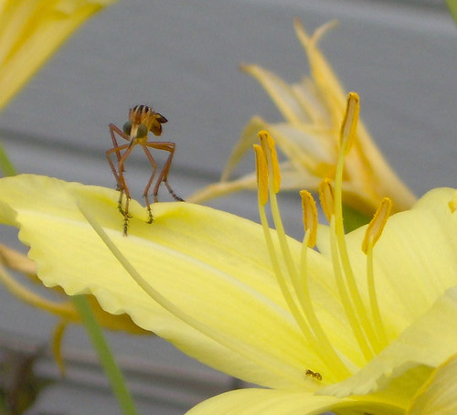 spooky creature on daylily