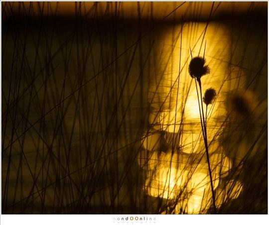Dankzij het altijd aanwezige water kunnen mooie lichtreflecties gevangen worden. In silhouet zijn het fijne haartjes van het veenpluis erg opvallend