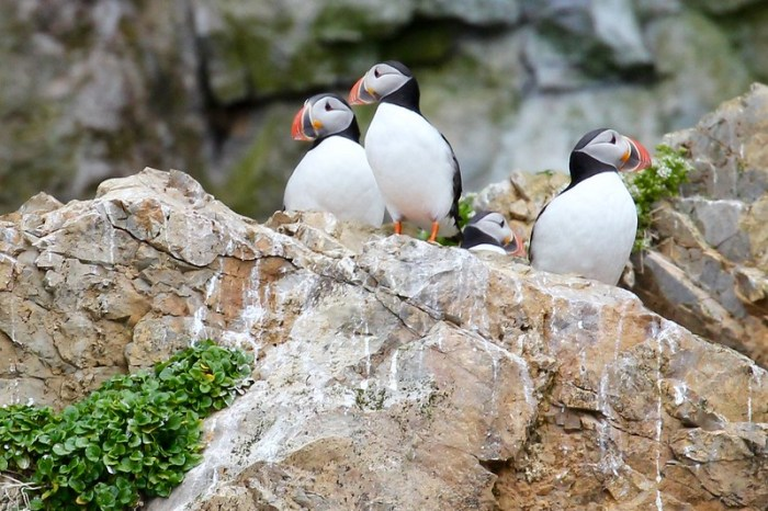 Puffins on Bear Island Svalbad Arctic