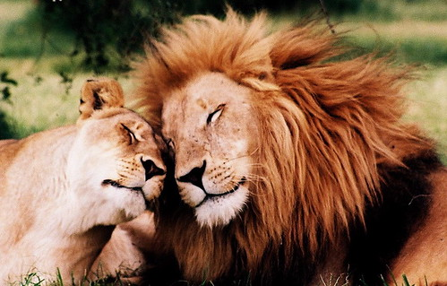 Lions in love!