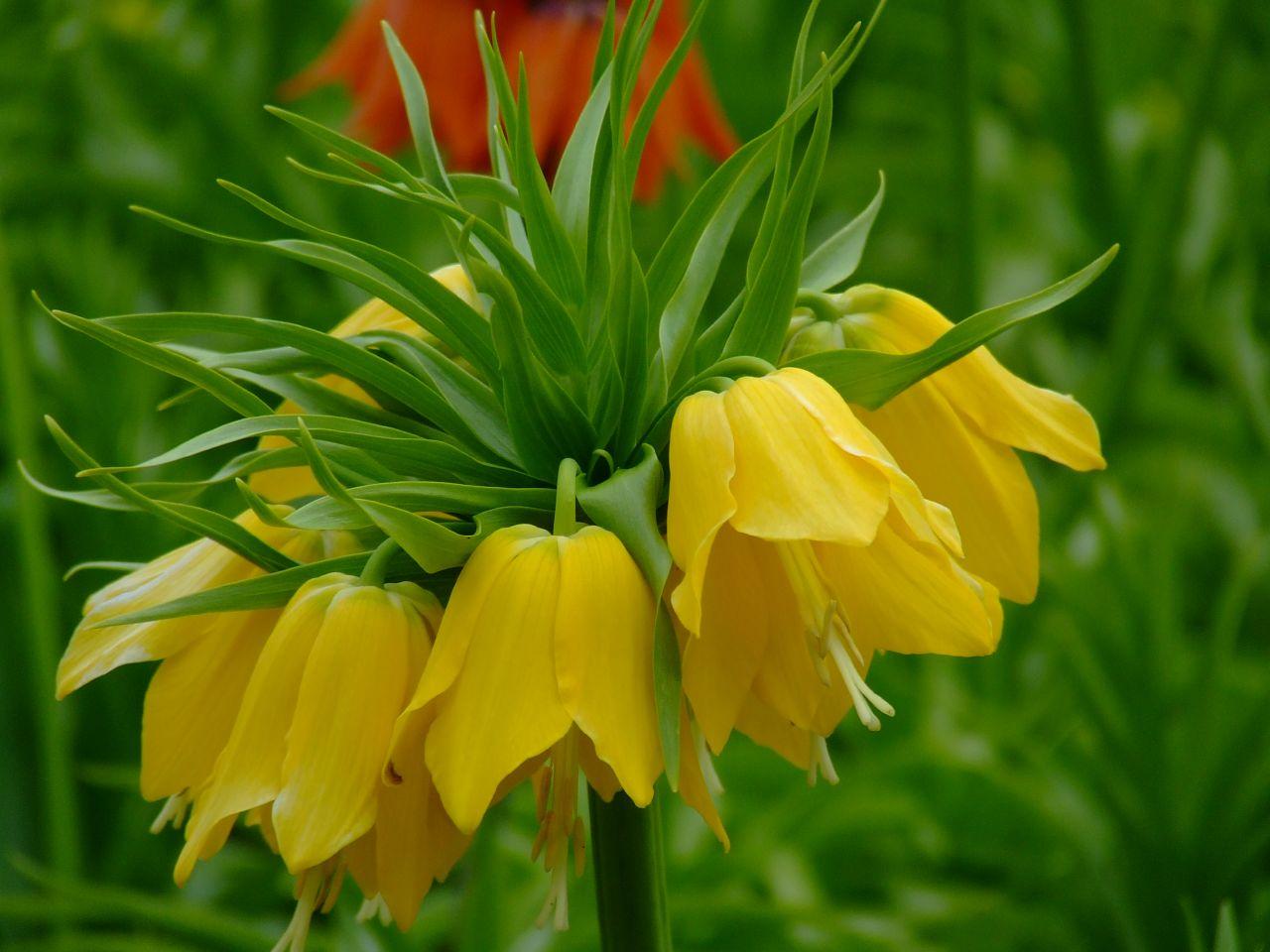 Fritillaria imperialis 'Maxima Lutea' av Elfleda, på Flickr