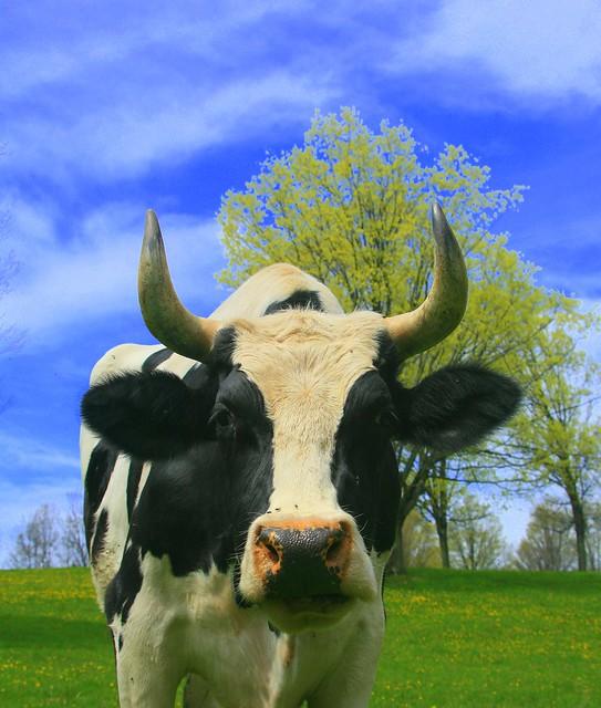 Aleph Tav - God's Gave His Best, Holy Cow-I Mean Bull-I Mean Steer!