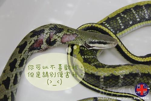 黑眉錦蛇 | 臺灣環境資訊協會-環境資訊中心