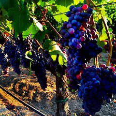 #Veraison #morning #NapaValley #Cabernet