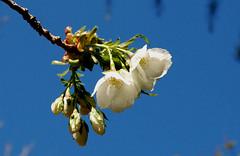 cherry blossom 1 var 1
