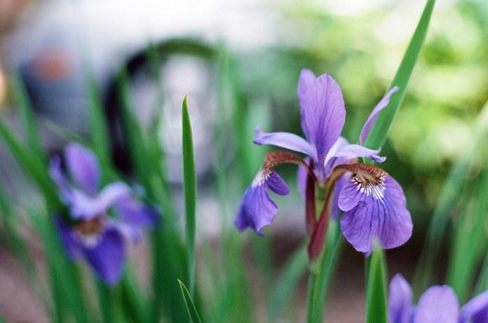 Purple lilies