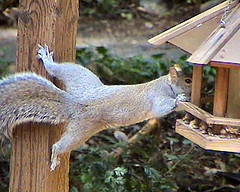 Acrobat Squirrel Raids Bird Feeder
