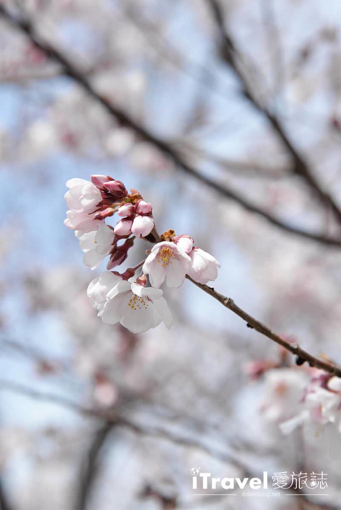 《大阪赏樱景点》狭山池博物馆:大阪樱花最早开花赏樱胜地,顺访安藤忠雄建筑之美。