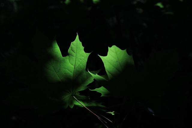 Leaves in Shadow