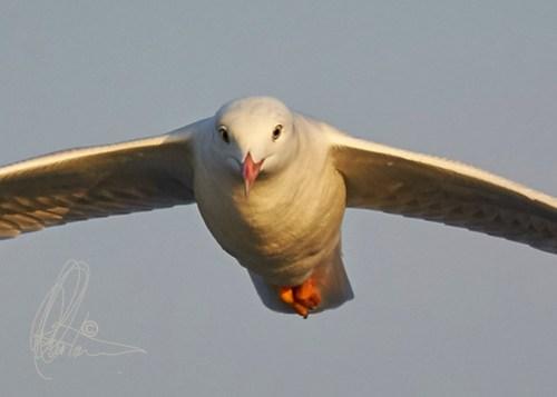 Slender-billed Gull(Chroicocephalus genei)_HC8Q9058