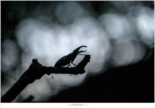 In het laatste licht van de dag, het moment dat het Vliegend Hert actief wordt.