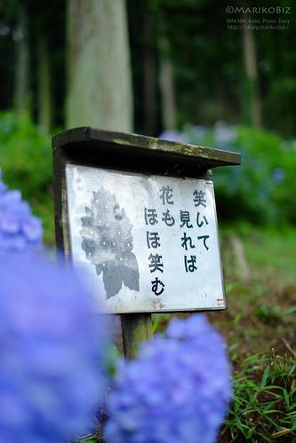金泉寺あじさい 20150627-DSCF7813