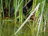 Moorhens on the Pond