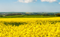 #Dorset oilseed fields
