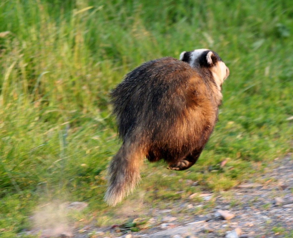 Image result for badger running