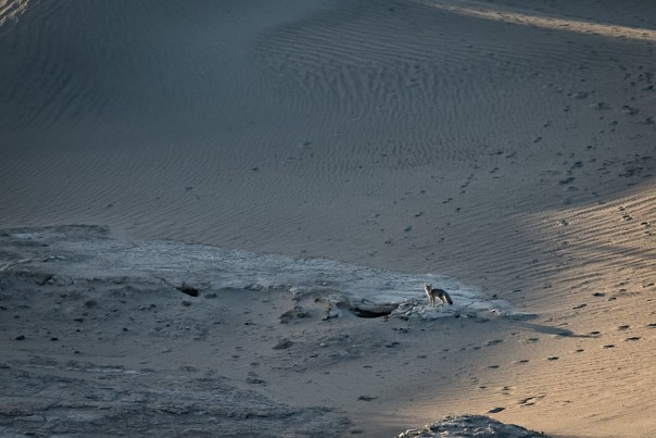 Fox at Mesquite Dunes