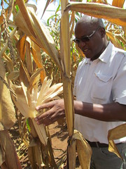 CIMMYT Seed systems specialist Peter Setimela inspecting seed quality in maize production fields Photo credit: CIMMYT