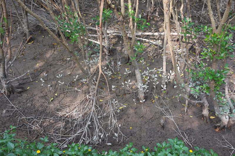 紅樹林自然步道DSCF6062