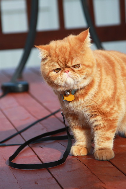 Exotic Shorthair Cat Pictures And Information